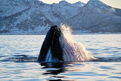 Aktivreise Wale, Huskys & arktisches Panorama